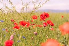Мак цветет обои Стоковая Фотография RF