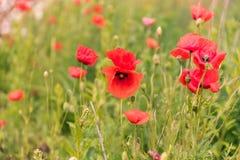 Мак цветет обои Стоковое Фото