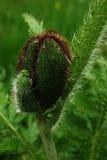 мак цветка бутона близкий вверх Стоковые Фотографии RF