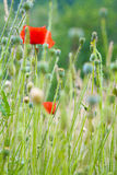 мак цветка одичалый Стоковые Фото