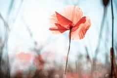 мак цветка одичалый Стоковые Фотографии RF