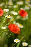 мак цветка Стоковые Фотографии RF