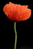 мак цветка Стоковое фото RF