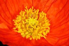 мак цветка Стоковые Изображения