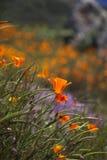 мак california Стоковая Фотография