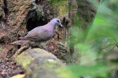 Малагасийский dove черепахи стоковые фотографии rf