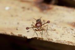 Малайзийская Черенок-eyed муха Стоковая Фотография