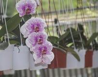 Малайзийские местные орхидеи стоковая фотография rf