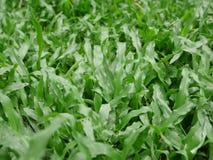 Малайзийское живописное зеленого цвета травы травы красивое Стоковое Изображение