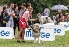 Маламут и его предприниматель на выставке собак стоковые фото