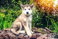 Маламут милого щенка бежит на саде травы Стоковые Изображения
