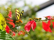 малахит бабочки Стоковые Изображения RF