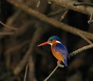 малахит kingfisher Стоковая Фотография