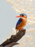малахит kingfisher Стоковое Изображение RF