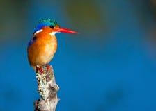 малахит kingfisher Стоковые Изображения RF