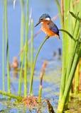 малахит kingfisher Стоковые Фотографии RF