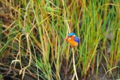 малахит kingfisher cristata alcedo Стоковое Изображение