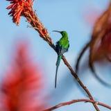 Малахит Sunbird Стоковое Изображение