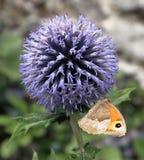 Малая бабочка вереска с закрытыми крылами на голове цветка Стоковые Изображения
