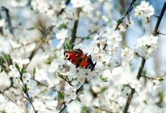 Малая бабочка на ветвях цветка весны Стоковые Фотографии RF