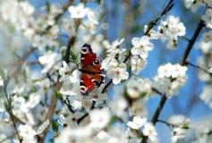 Малая бабочка на ветвях цветка весны Стоковое Изображение