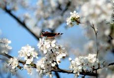 Малая бабочка на ветвях цветка весны Стоковое Фото
