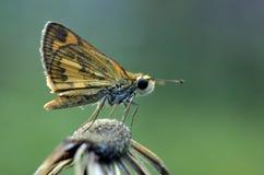 Малая бабочка на цветке засорителя утюга умерших Стоковое Изображение RF