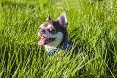 Малая белая и коричневая собака чихуахуа в траве Маленькая собака в парке лета Внешняя прогулка маленького doggie Стрижка Doggy Стоковые Изображения