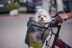 Малая, белая и пушистая собака сидя в корзине велосипеда Стоковые Изображения RF