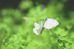 Малая белизна бабочки капусты на цветке Стоковые Фото