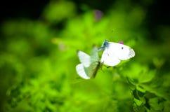 Малая белизна бабочки капусты на цветке Стоковое фото RF