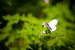 Малая белизна бабочки капусты на цветке Стоковое Изображение