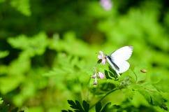 Малая белизна бабочки капусты на цветке Стоковые Изображения