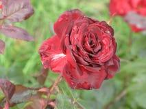 Малая влажная темнота - красная роза Стоковая Фотография