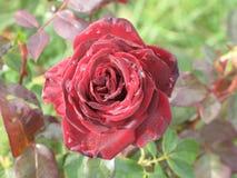 Малая влажная темнота - красная роза Стоковое фото RF