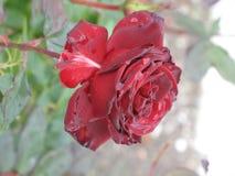 Малая влажная темнота - красная роза Стоковое Фото
