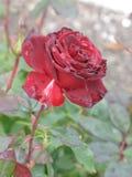 Малая влажная темнота - красная роза Стоковые Изображения