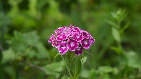 Малая гвоздика цветет цветене в саде лета сток-видео