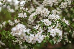 Малая глубина фокуса, только немногие цветки в фокусе, цветения Яблока на ветвях дерева в тени абстрактная весна предпосылки стоковое фото rf