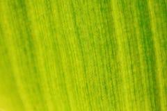 Малая глубина фото поля - только немногие волокна в фокусе Лист бананового дерева освещенные солнцем от другой стороны Органическ стоковые изображения