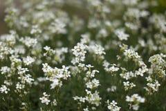 Малая глубина фото, только немногие цветения в фокусе, небольшой кровати белых цветков, абстрактной предпосылке весны стоковая фотография rf