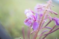 Малая глубина fireweed поля Стоковые Фото