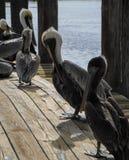 Малая группа в составе пеликаны на доке берега стоковая фотография
