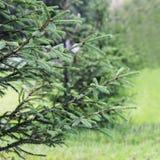 Малая ель растет в городе на предпосылке зеленой травы в лете в городе Стоковое фото RF