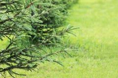 Малая ель растет в городе на предпосылке зеленой травы в лете в городе Стоковое Фото