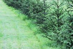 Малая ель растет в городе на предпосылке зеленой травы в лете в городе Стоковые Фотографии RF