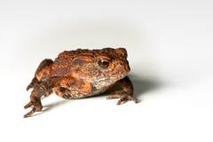 малая жаба Стоковые Фото