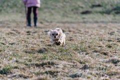 Малая здоровая собака чихуахуа в беге Быстрая идущая малая собака от Стоковые Изображения RF