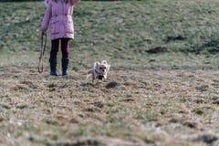 Малая здоровая собака чихуахуа в беге Быстрая идущая малая собака от Стоковое Изображение