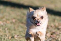 Малая здоровая собака чихуахуа в беге Стоковое Изображение RF